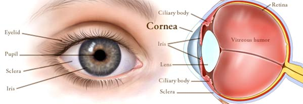 what-is-the-cornea